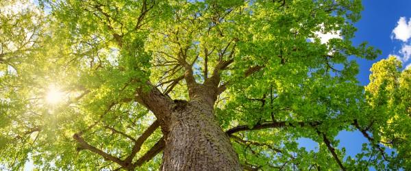 arbre le tilleul au jardin