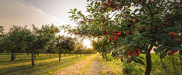 cerisier arbuste