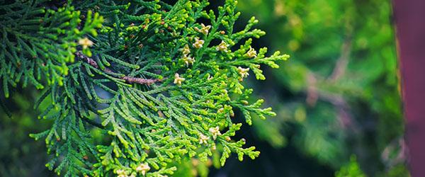 cypres arbre