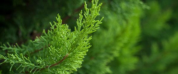 cypres arbuste