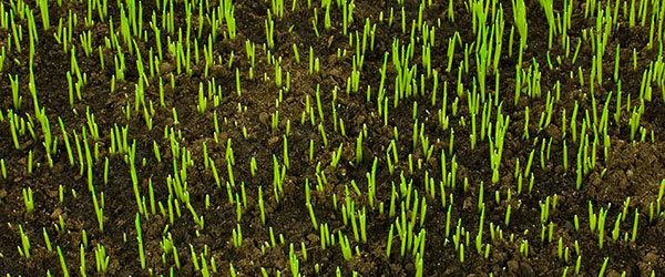 graine pousse jardin