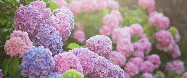 hortensias multicouleurs