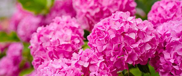 hortiensas roses