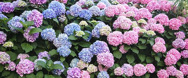 jardin entretien des hortensias