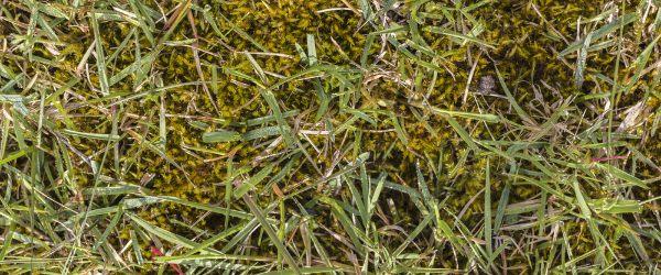 mousse dans la pelouse
