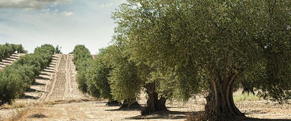 olivier jardin taille