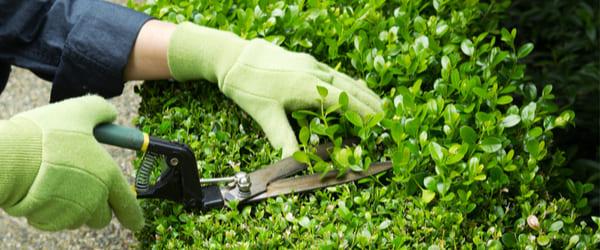 taille arbuste