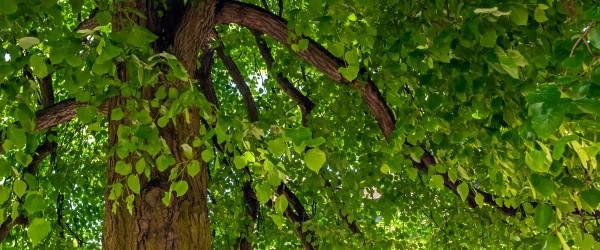 taille tilleul arbre