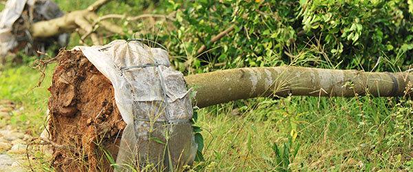 tarif transplanter arbre