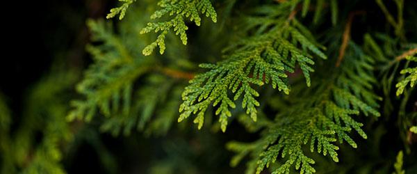 thuyas arbre