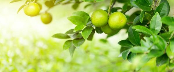 tilleul fruit