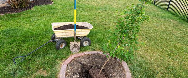 transplanter jeune arbre