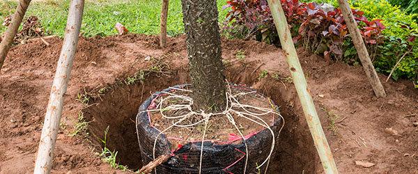 transplanter vieux arbre